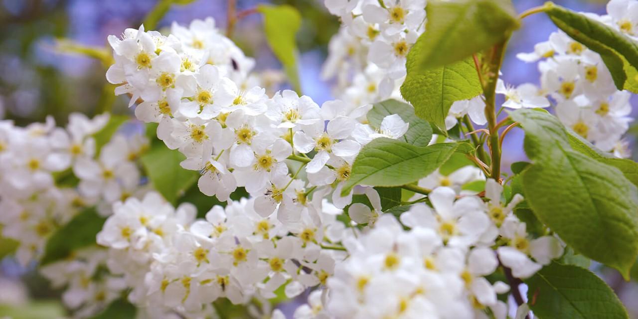 Flores com pétalas brancas e pólen amarelo