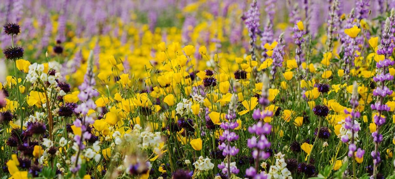 Campos com flores amarelas e roxas