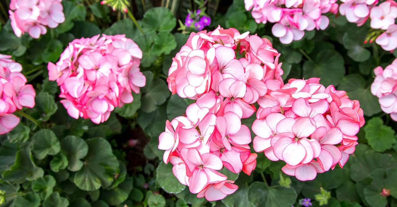 Arbustos e flores de gerânio