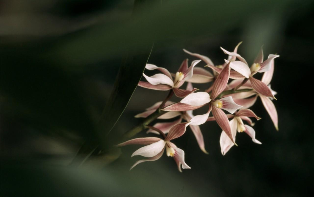 Orchid sp. Orchid Atlantic Rainforest Espirito Santo, Brazil